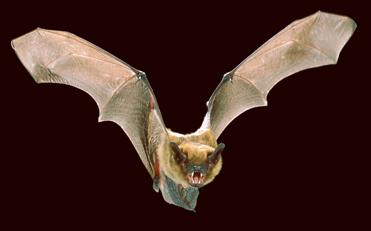 bats have unique touch sensors on their wings  new study finds