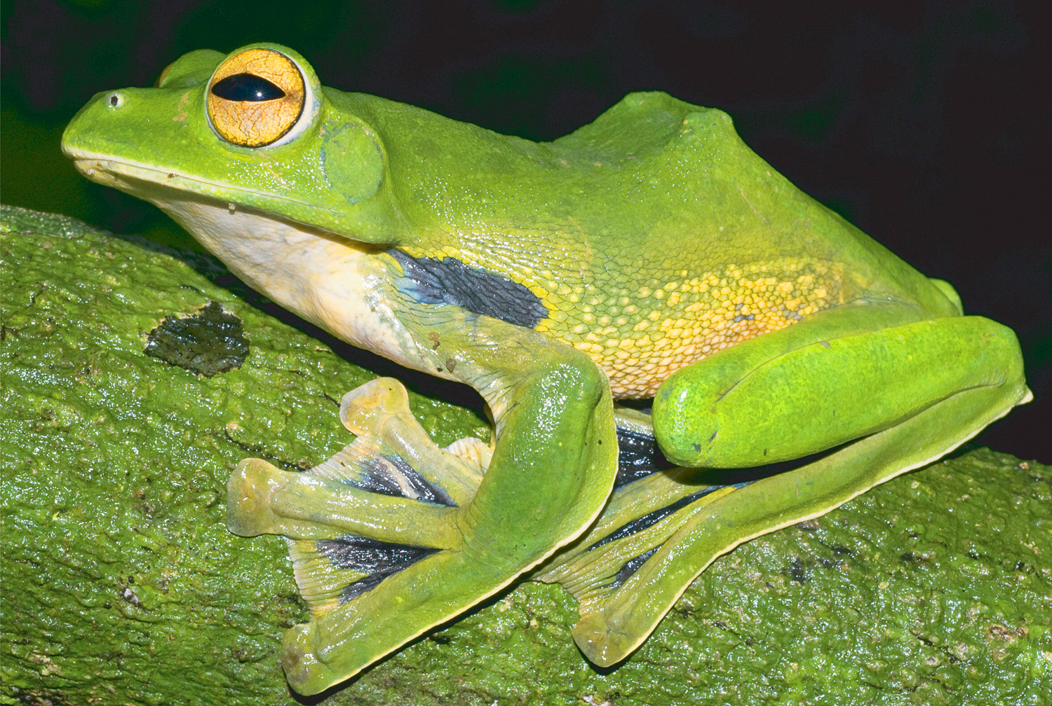 Huge New Species of Flying Frog Discovered in Vietnam ...