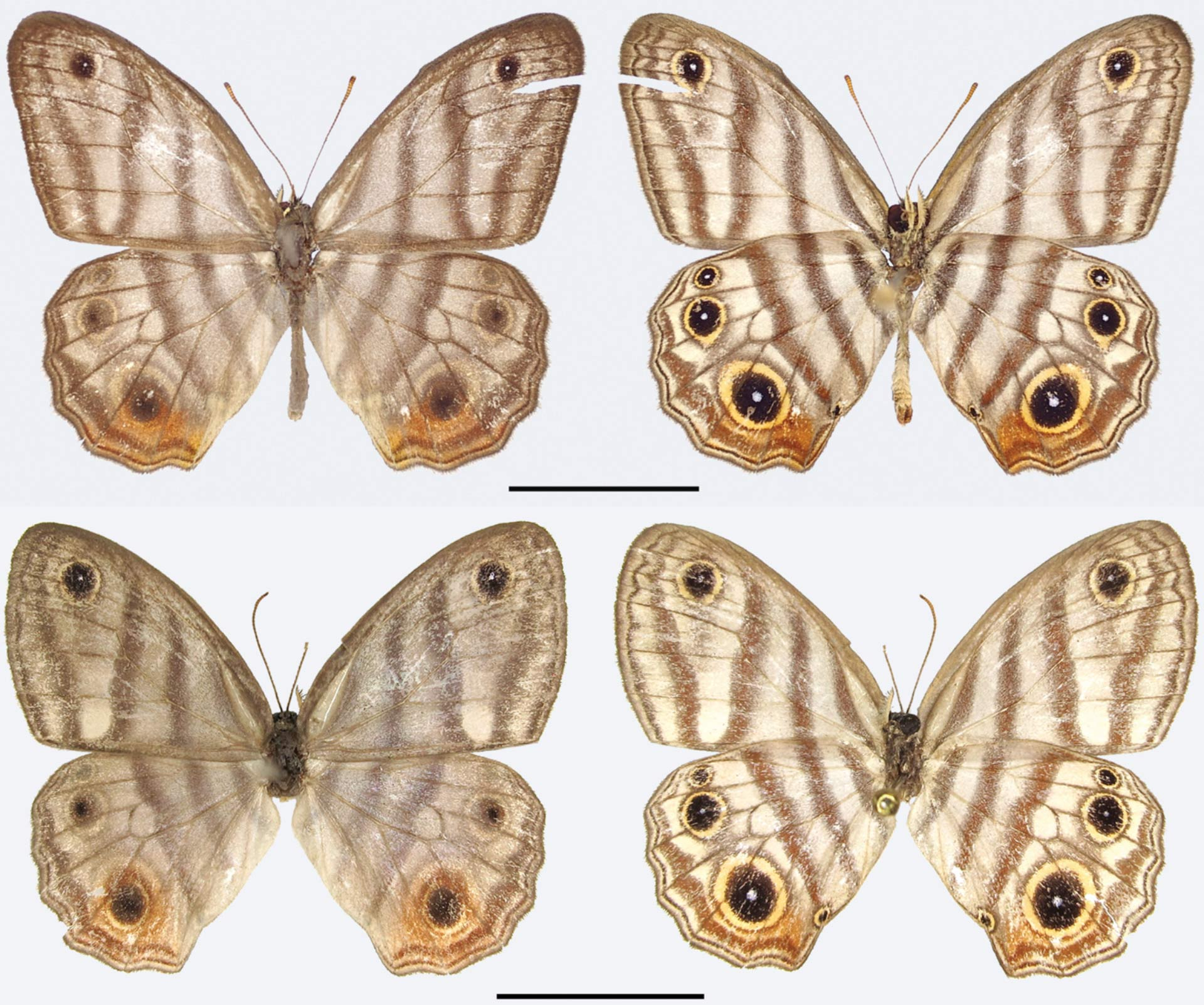 newly discovered butterfly species named after sir david