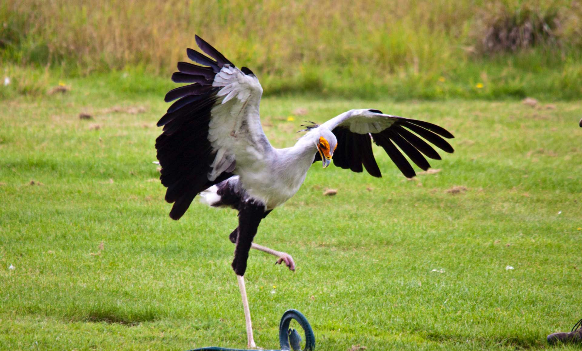 study secretary birds stamp on their prey with force 5 times