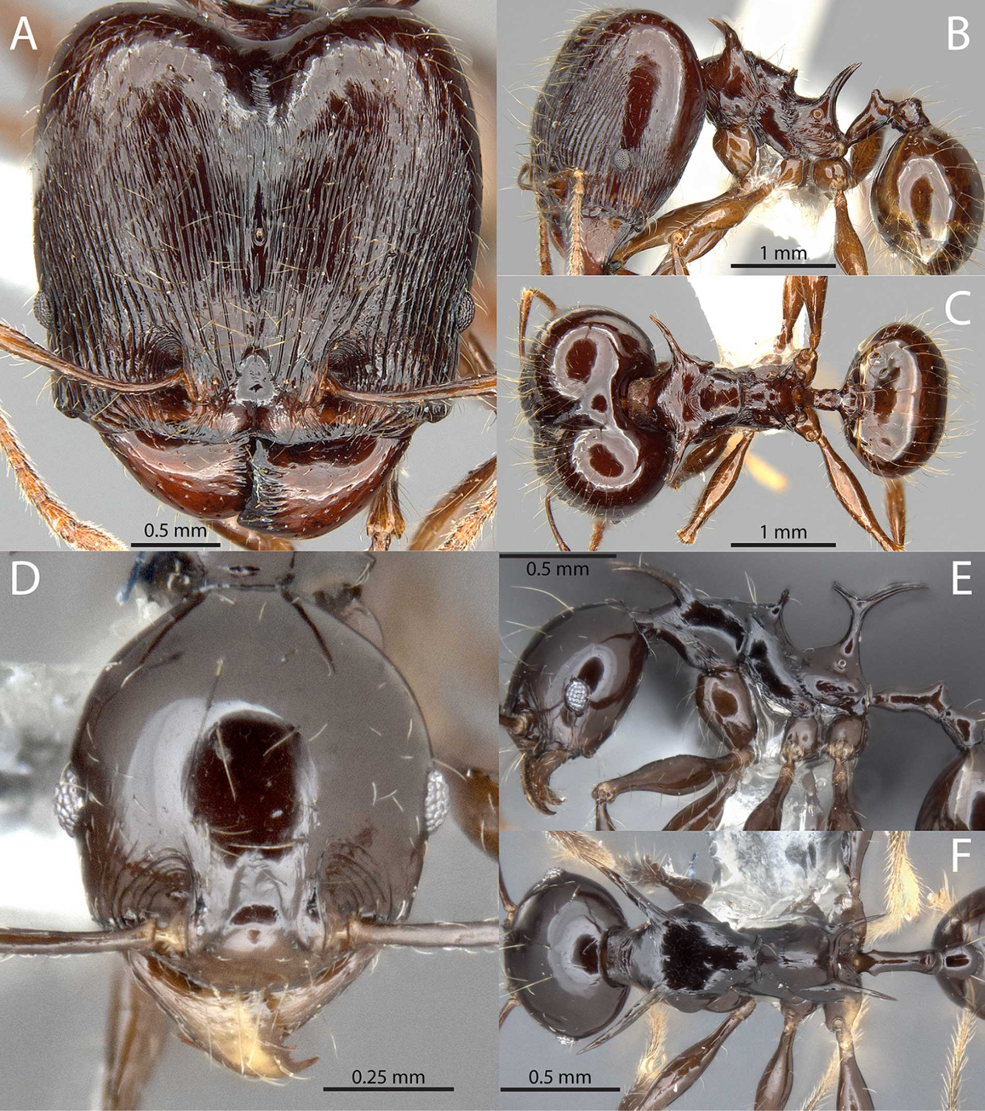 Four New Species of Ants Discovered – Two Named after Game of