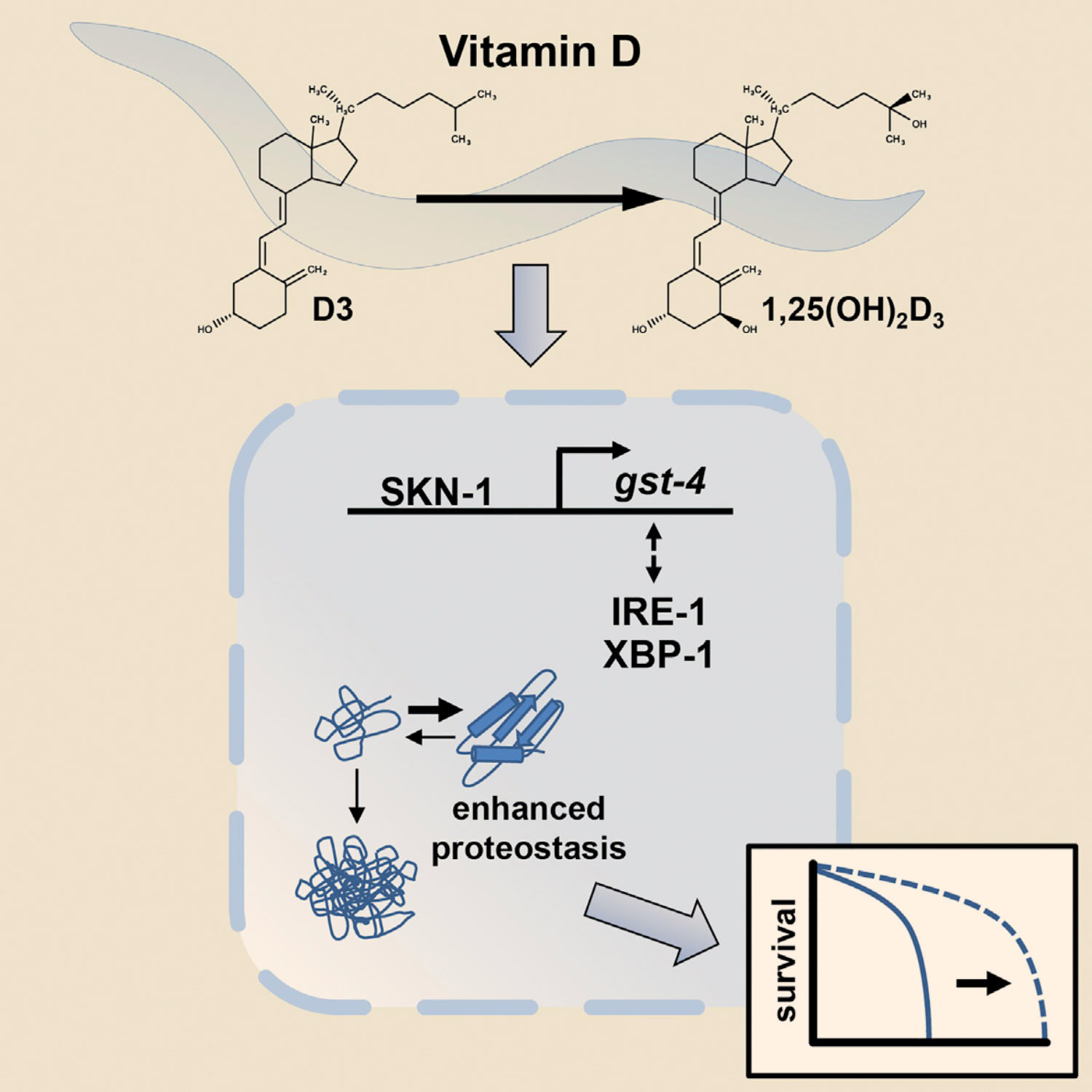 Vitamin D Enhances Lifespan And Protein Homeostasis New Study Shows. Mark Et Al Demonstrate That Vitamin D Promotes Protein Homeostasis And Slows Aging In The Nematode. Wiring. Homeostasis Diagram Of Vit D At Scoala.co