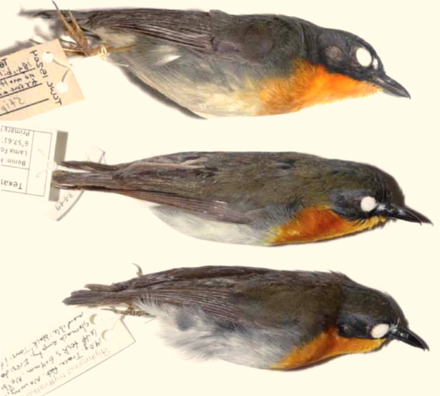 three new species of forest robin discovered in africa biology