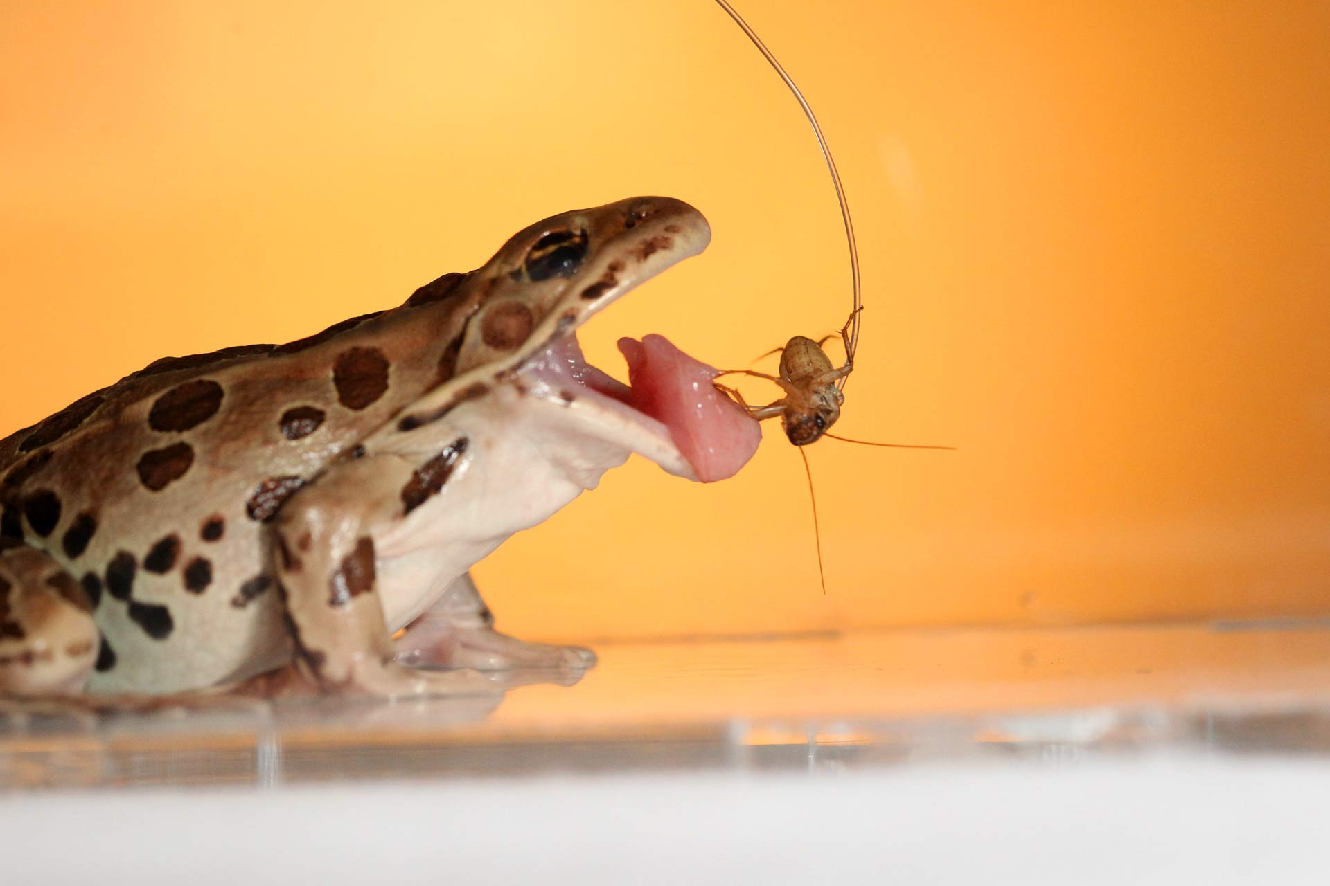 unique reversible saliva keeps frog tongues sticky biology sci