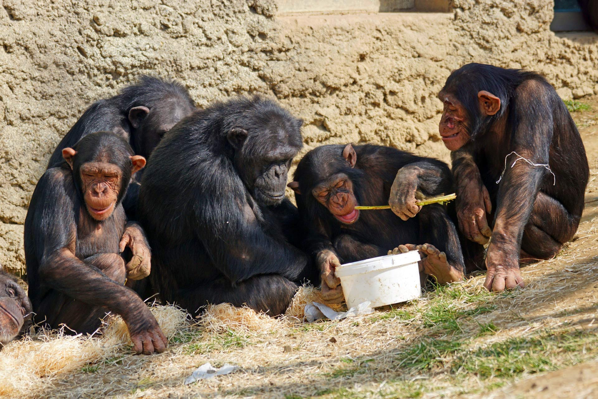 cultures of chimpanzees