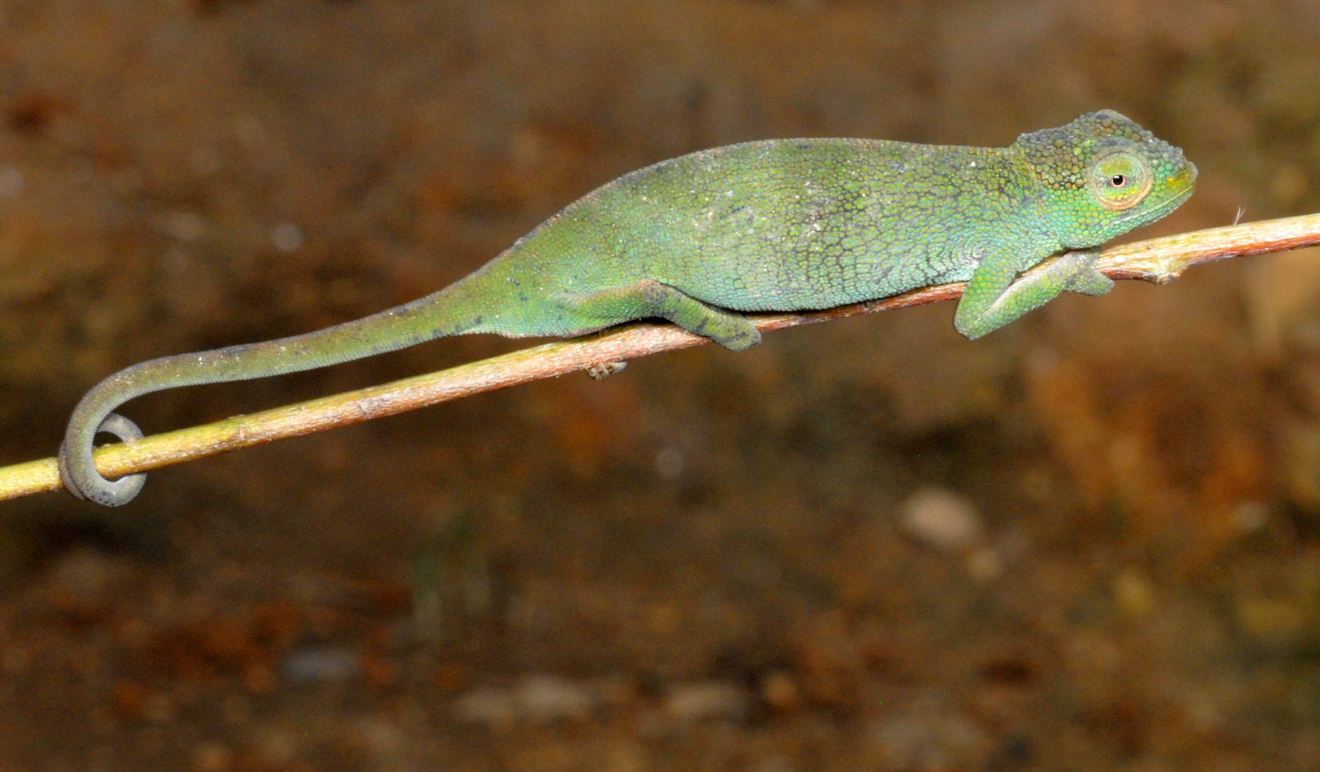 Three new species of chameleons, from Central Africa