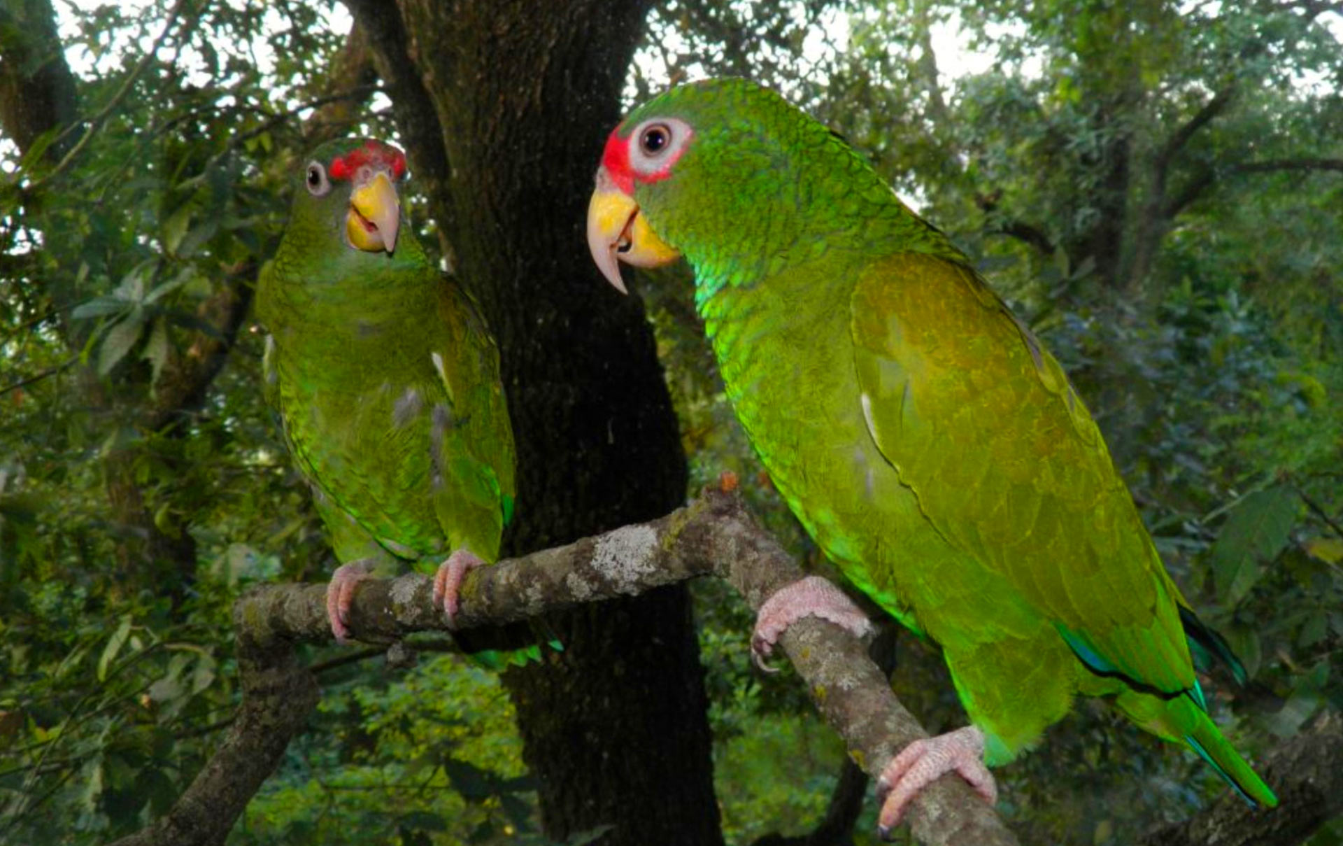 new species of amazon parrot discovered in mexico biology sci