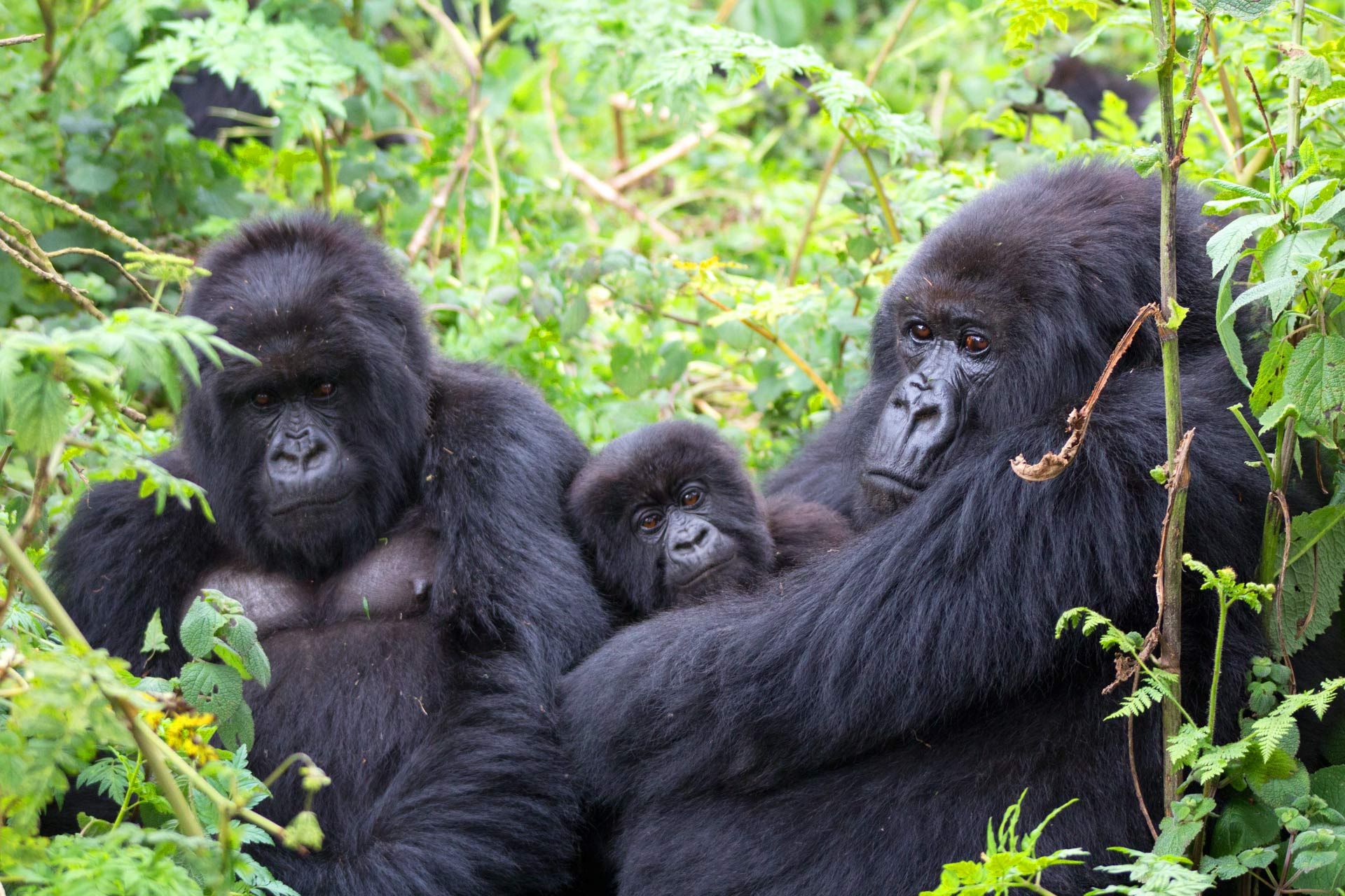 a family of mountain gorillas in volcanoes national park rwanda image credit tierra