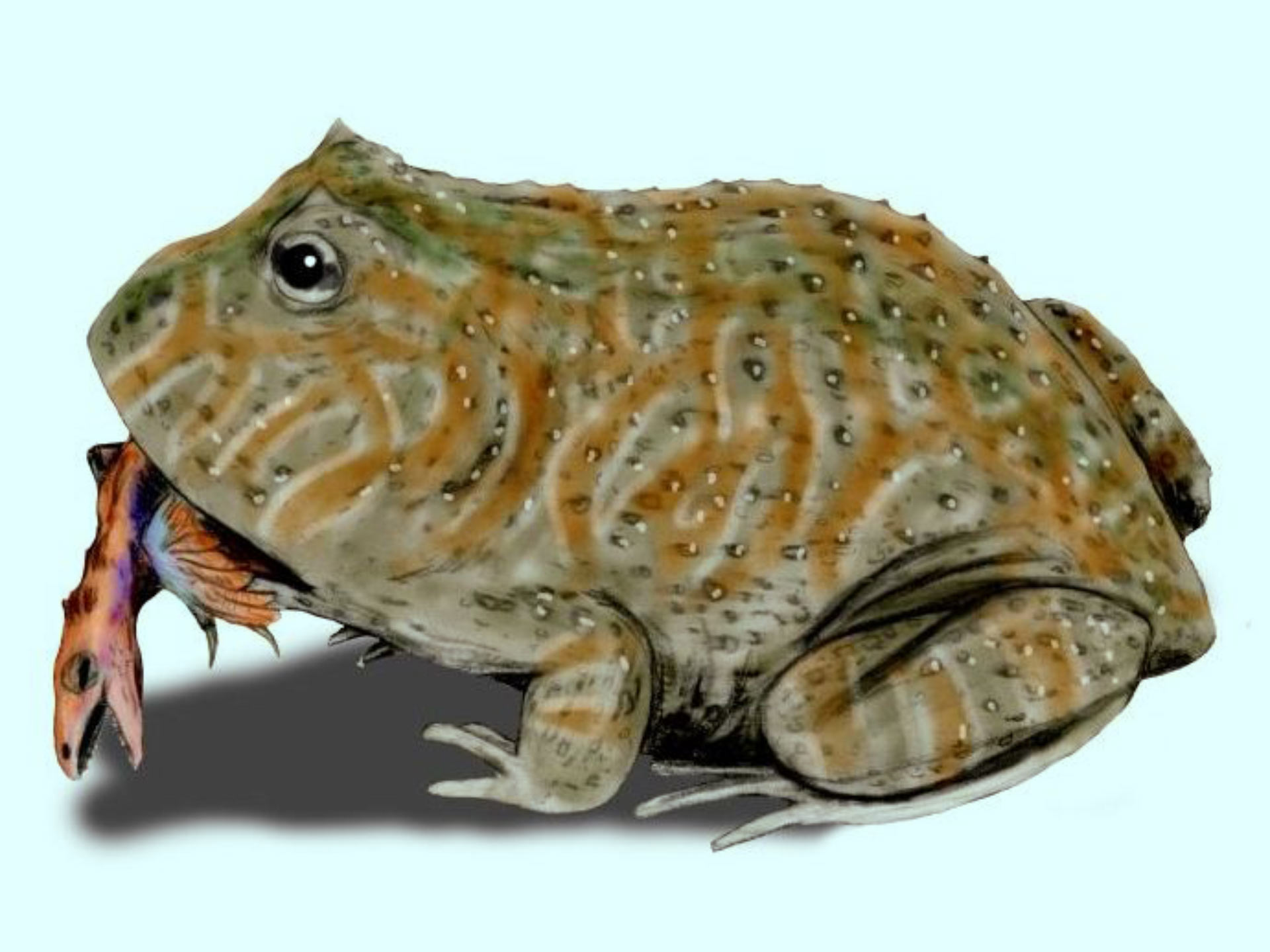 Ancient frog likely ate small dinosaurs, study reports