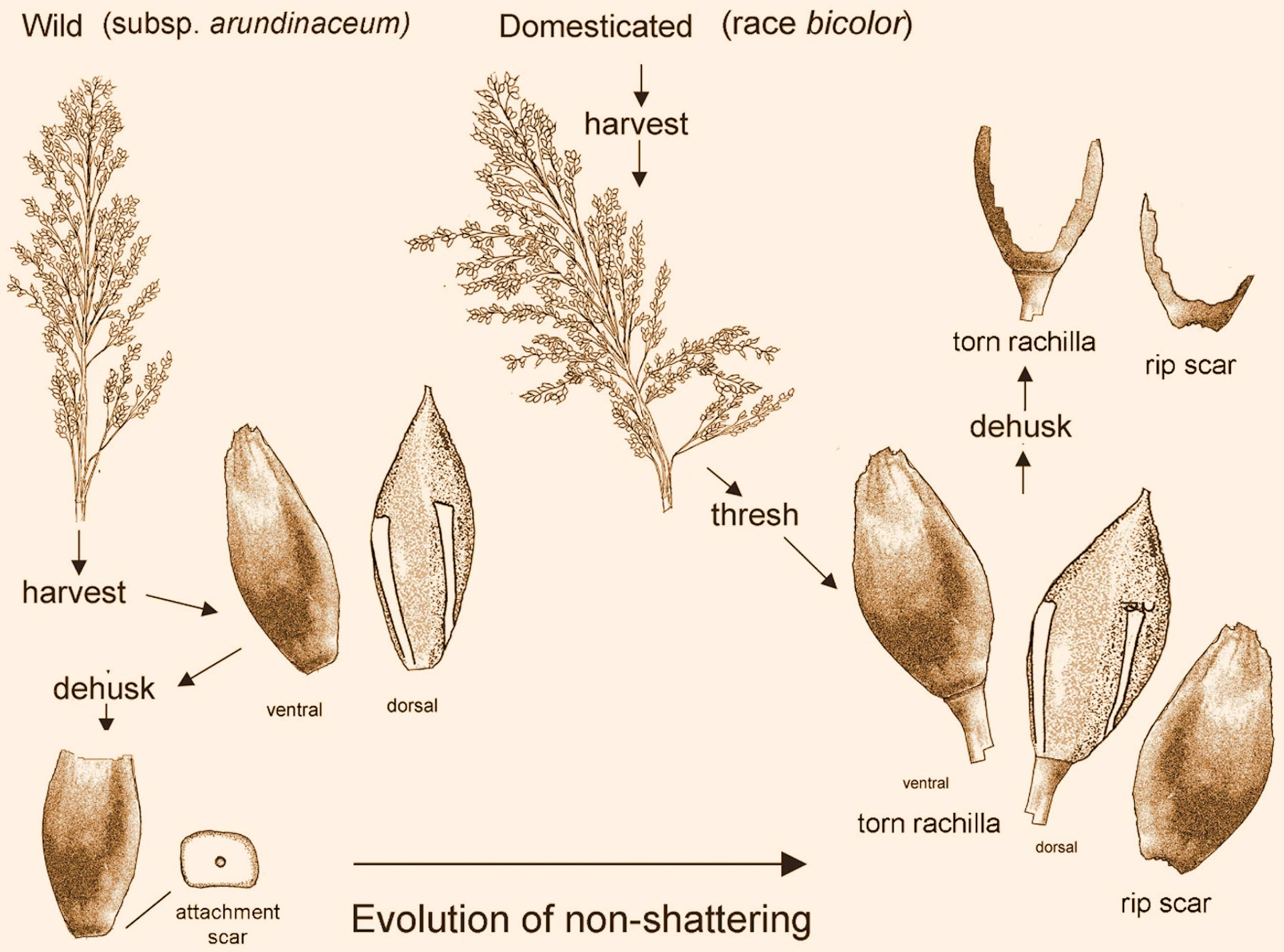 Earliest Evidence of Domesticated Sorghum Discovered