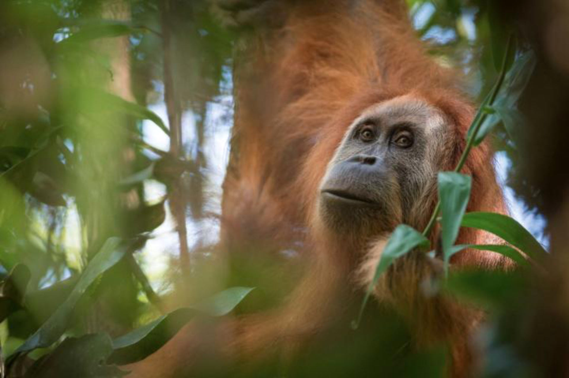 Researchers discover a new orangutan species in Sumatra, Indonesia