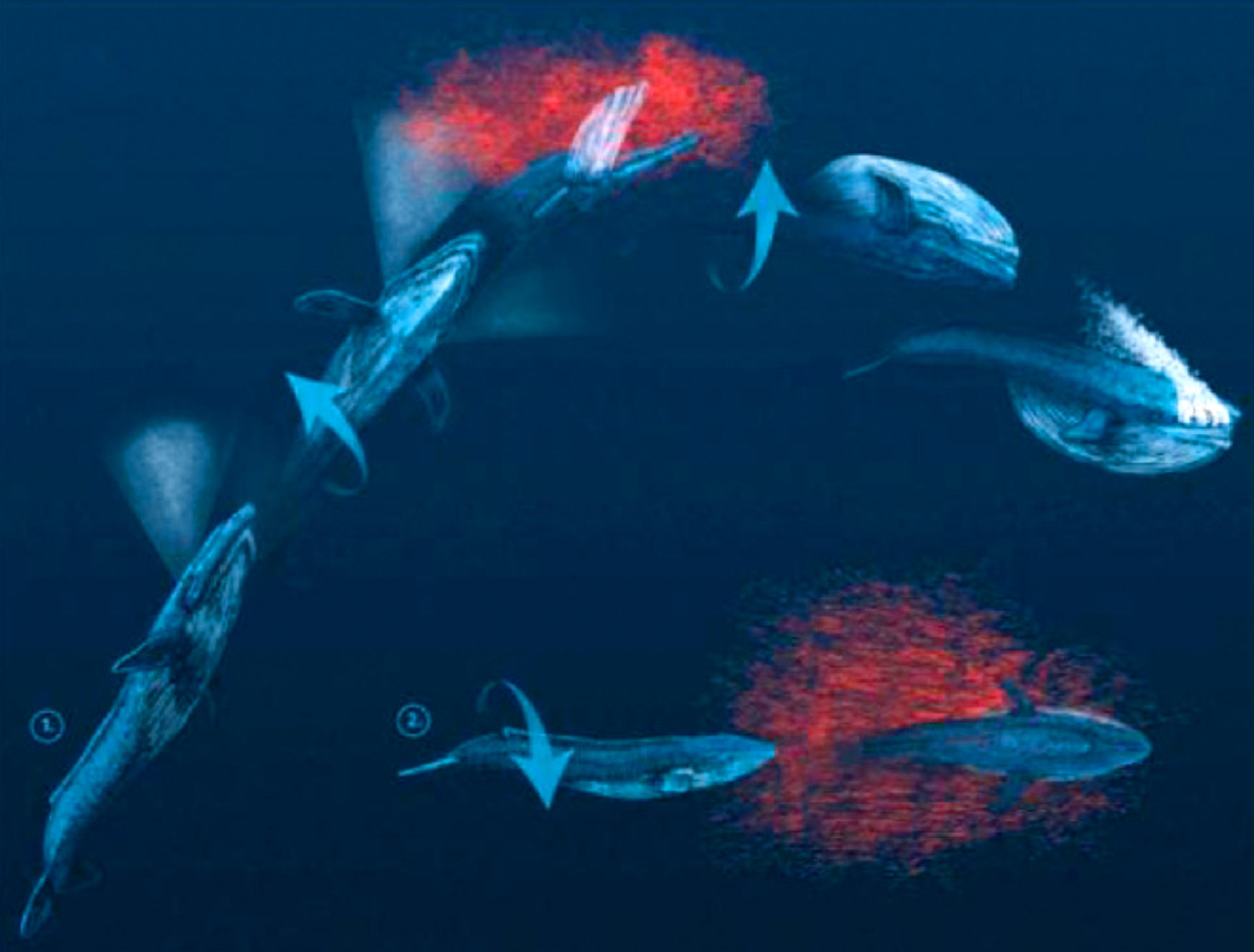 Scientists Find Evidence of 'Handedness' in Blue Whales | Biology