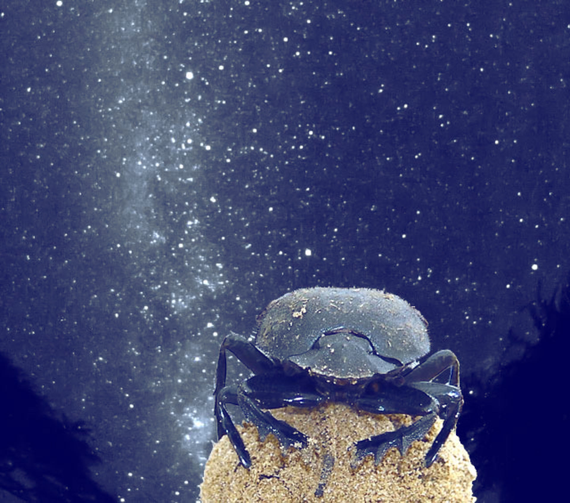 Image of: Spotted Cats African Dung Beetles scarabaeus Satyrus Use The Glow Of The Milky Way To Navigate Scinewscom Nocturnal Animals Use Stars For Orientation Biology Scinewscom