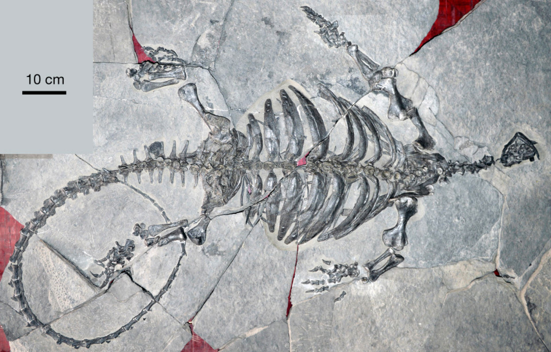 Early Turtles Had Beaks, but Not Shells