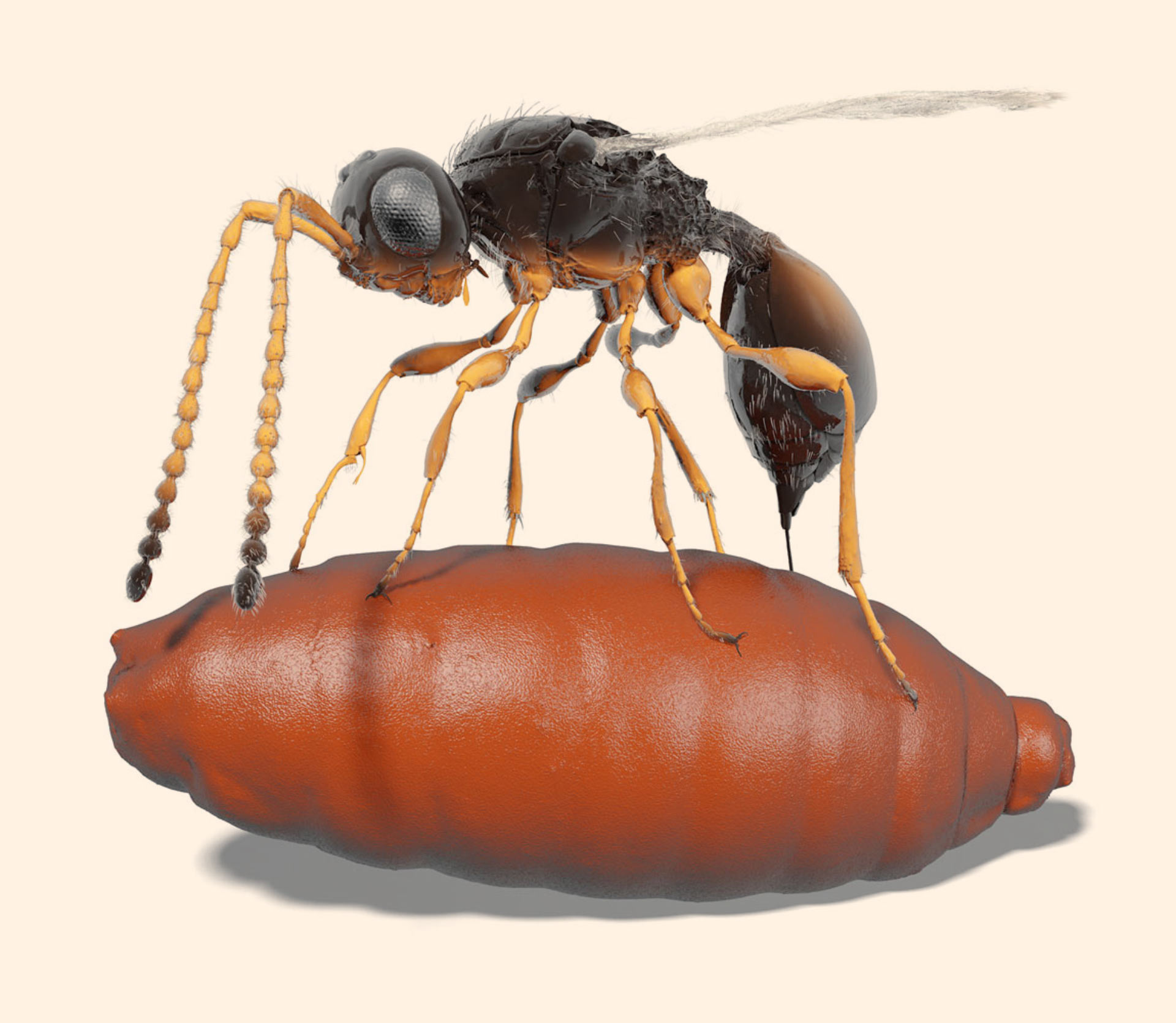 Extinct parasitic wasps found preserved within fly pupae fossils