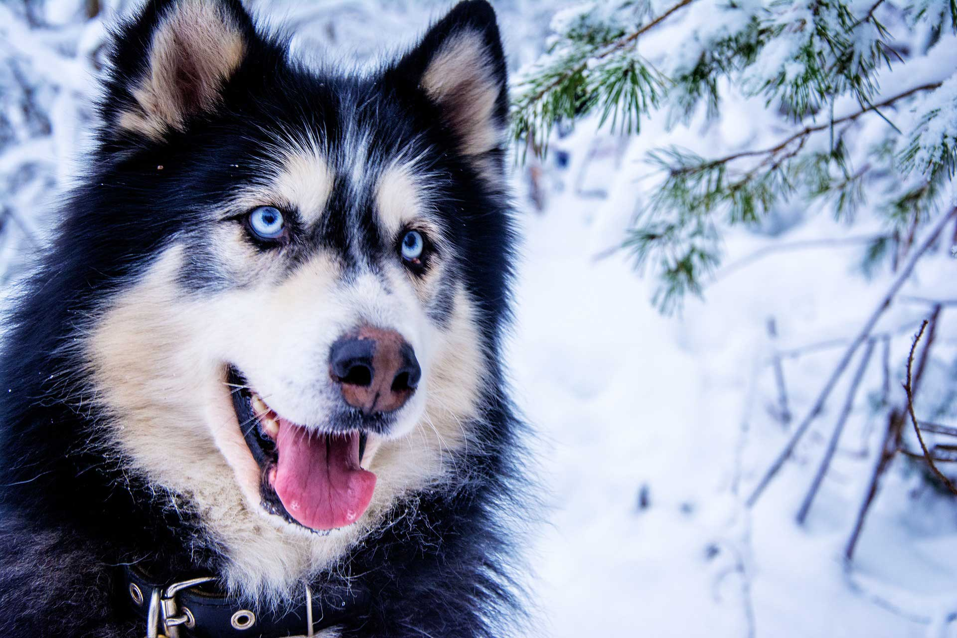 Extra Dna Produces Blue Eyes In Huskies Genetics Sci News Com