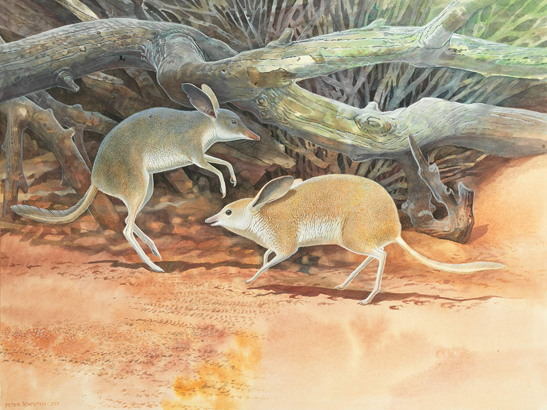 New Species of Extinct Pig-Footed Bandicoot Discovered