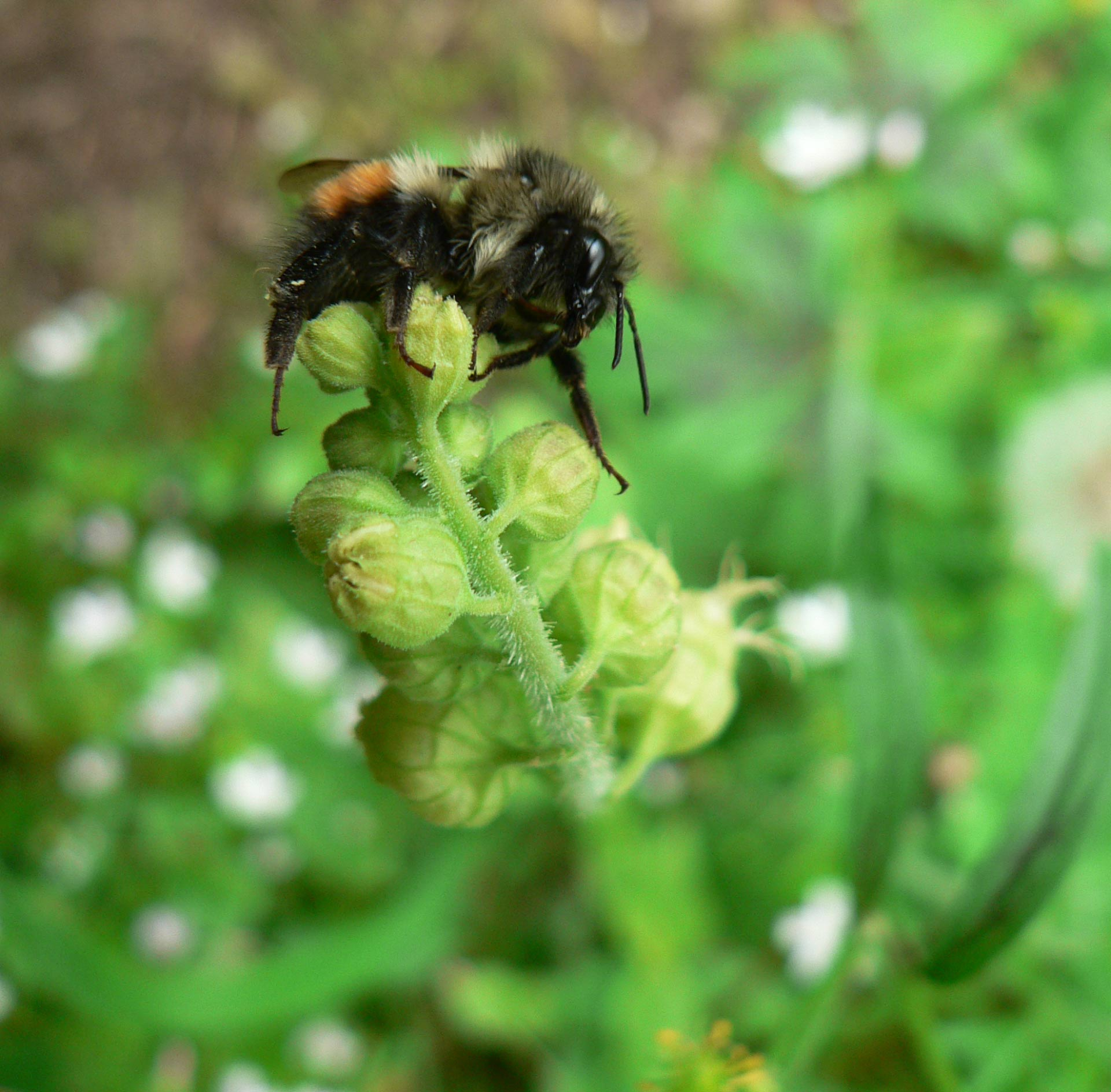 Black Bumble Bee >> Researchers Identify Color Switch Gene In Black Tailed