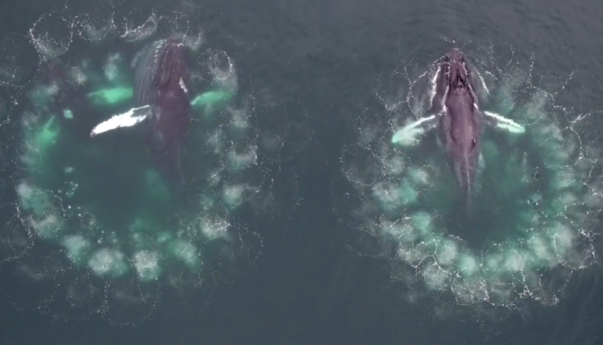 Humpback whales herd fish using spiralling columns of bubbles