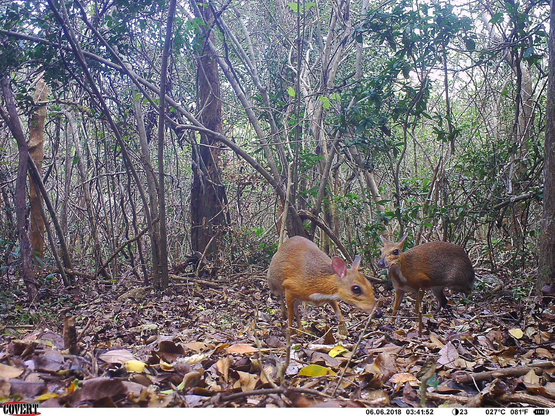Tiny deer-like species rediscovered after nearly 30 years in Vietnam