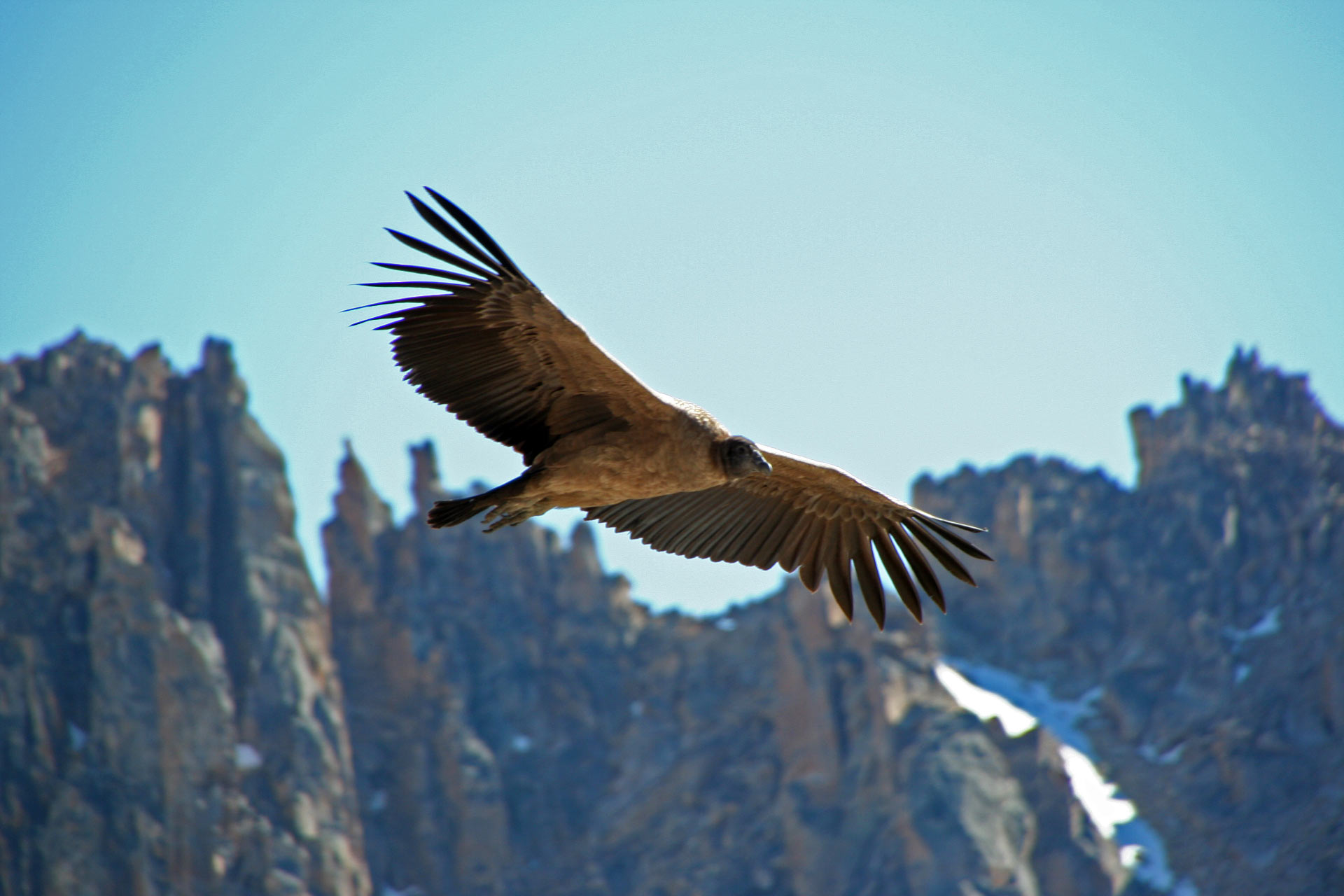 World S Heaviest Soaring Bird Flaps Wings For Only 1 Of Flight Time Biology Sci News Com